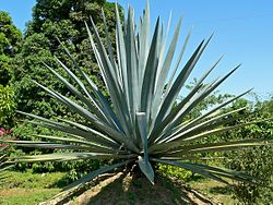 1250px-Agave_tequilana_2